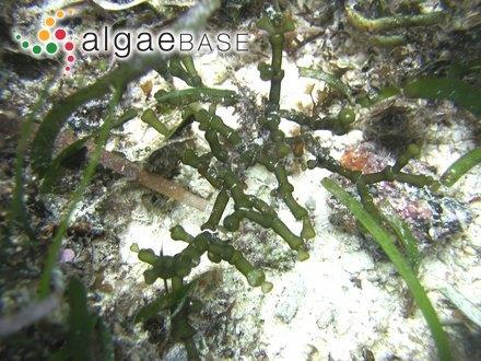 Lithothamnion nodulosum f. congregatum (Foslie) Foslie