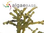 Gracilaria salicornia (C.Agardh) E.Y.Dawson