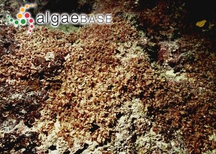 Haloplegma duperreyi Montagne