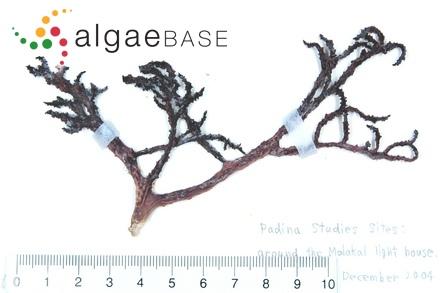 Phymatolithon investiens f. ocellatum (Foslie) Foslie