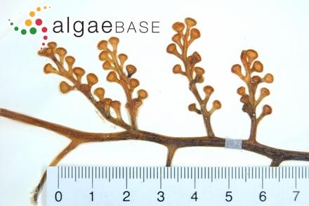 Cystoclonium purpurascens f. dendroideum Kjellman
