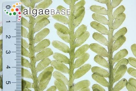Polyides rotunda f. fastigiata (C.Agardh) Duby