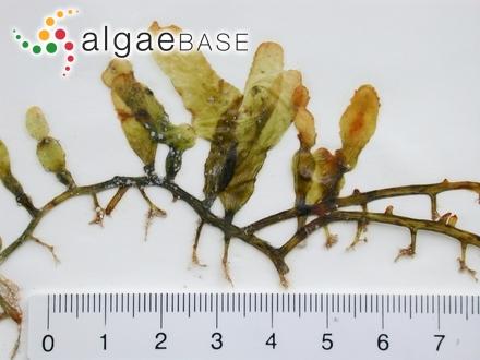 Polyides lumbricalis var. fastigiata C.Agardh