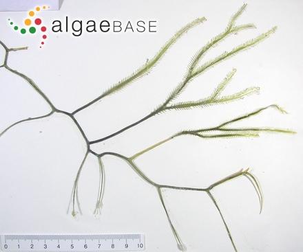 Caulerpa cupressoides 2 (photo by Hideki Yukihira)