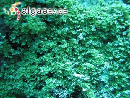 Chondrus crispus var. incurvatus Lyngbye