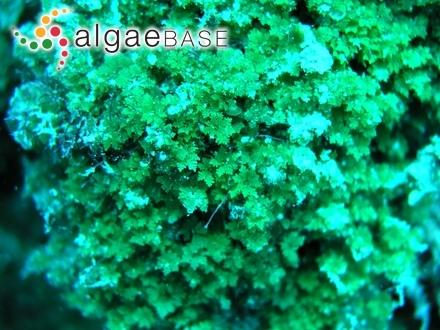 Sphaerococcus norvegicus (Gunnerus) C.Agardh