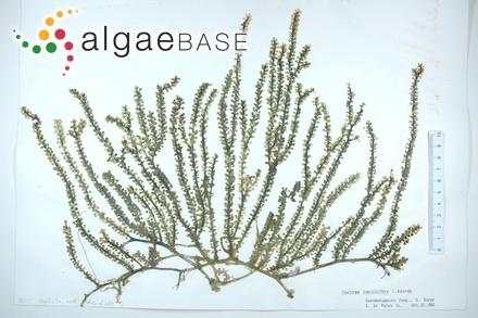 Hildenbrandia occidentalis var. yessoensis (Yendo) Ardré