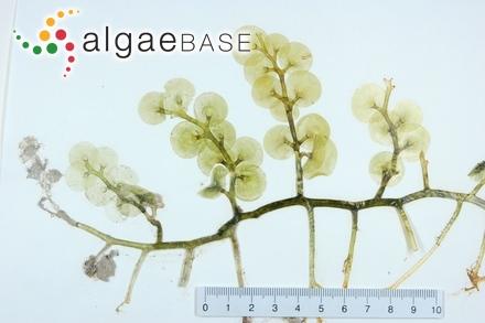 Kallymenia rosacea (J.Agardh) J.Agardh