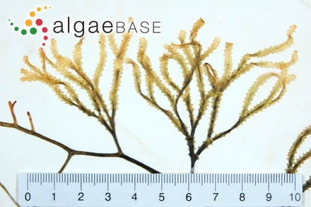 Phyllophora brodiei var. elongata Hauck