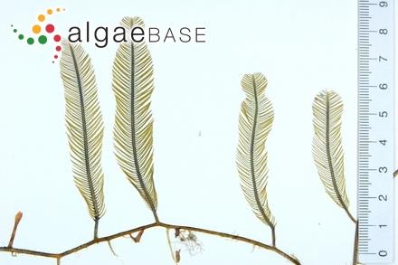 Phyllophora parvula Darbishire