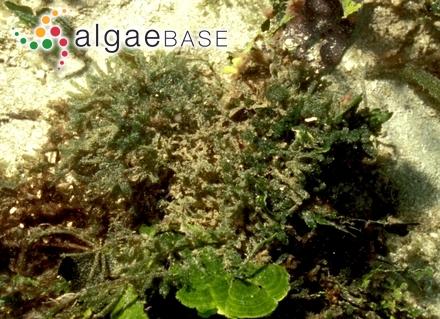 Phyllophora bangii (Hornemann) Areschoug