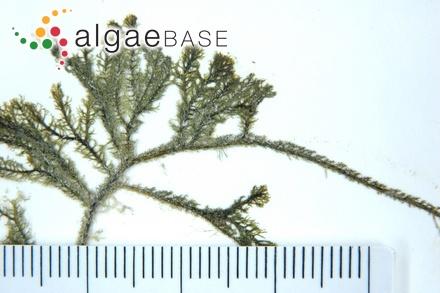 Phyllophora membranifolia (Goodenough & Woodward) J.Agardh