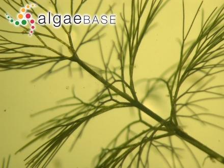 Halymenia palmata var. marginifera (Turner) C.Agardh