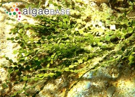 Ceramium rubrum var. proliferum C.Agardh