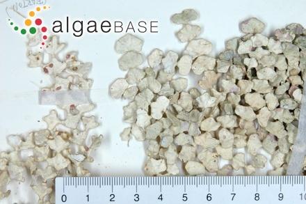 Nitophyllum perriniae A.H.S.Lucas