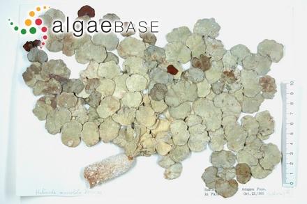 Gongroceras penicillatum (Areschoug) J.Agardh