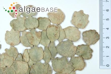 Ceramium penicillatum f. fasciculatum Kylin
