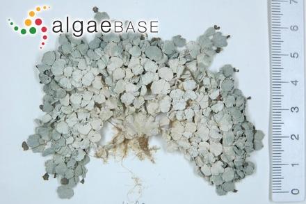 Ceramium arachnoideum (C.Agardh) J.Agardh