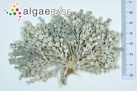 Ceramium diaphanum var. arachnoideum C.Agardh