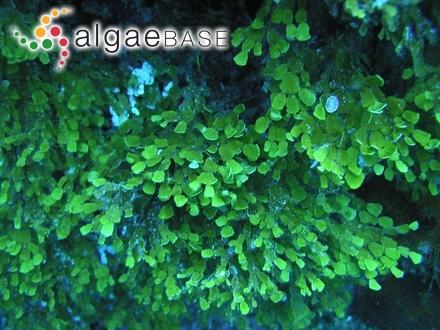 Ceramium arborescens f. boreale Petersen