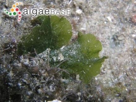 Anadyomene wrightii 2 (photo by Hideki Yukihira)