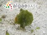 Avrainvillea erecta (Berkeley) A.Gepp & E.S.Gepp
