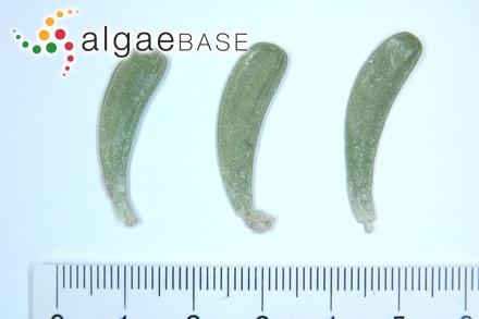 Ceramium rubrum f. squarrosum (Harvey) Kjellman