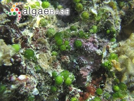 Bornetella sphaerica (Zanardini) Solms-Laubach