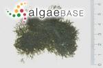 Cladophora sibogae Reinbold