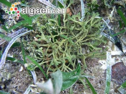 Sphaerococcus plumosus (Linnaeus) Wahlenberg