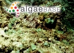 Dictyosphaeria versluysii Weber Bosse