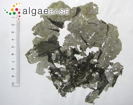Ceramium roseolum C.Agardh