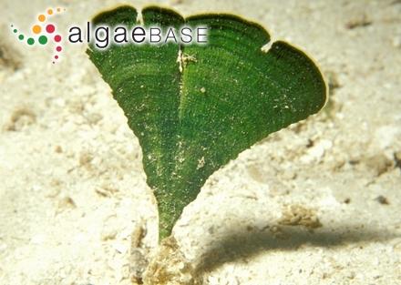 Hutchinsia coccinea (Hudson) C.Agardh