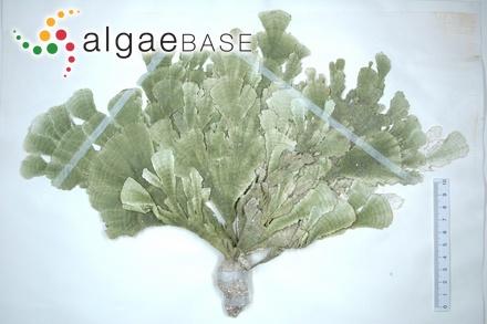 Dasya coccinea var. tenuis Liebmann