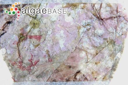 Delesseria sanguinea var. lanceolata C.Agardh