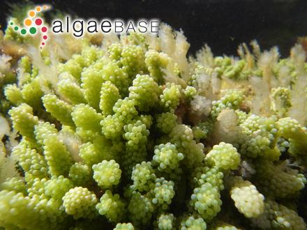 Cliftonia semipennata (J.V.Lamouroux ex Poiret) J.Agardh