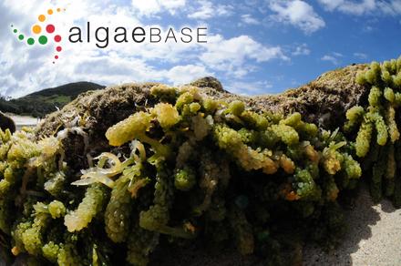 Rhodoglossum californicum (J.Agardh) I.A.Abbott