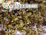 Bostrychia tenella (J.V.Lamouroux) J.Agardh