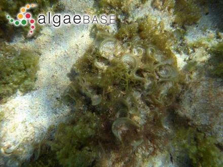 Chondria corallorhiza (J.Agardh) Falkenberg