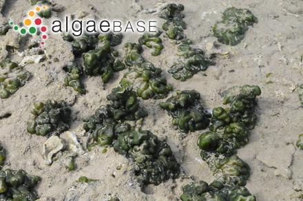 Chlorodesmis formosana Yamada
