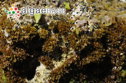Chordaria abietina Ruprecht ex Farlow