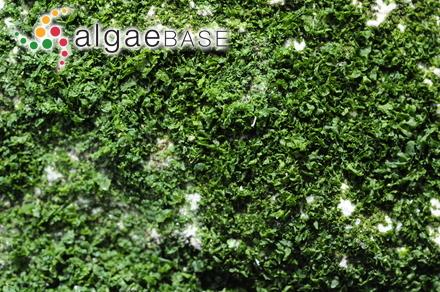Crodelia discoidea (Foslie) Levring