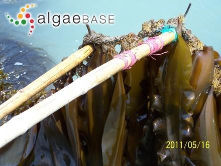 Cutleria multipartita (Suhr) Hering
