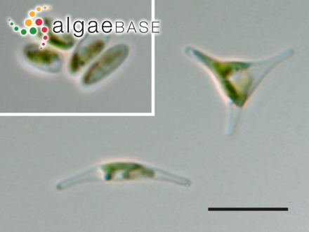 Halimeda hederacea (E.S.Barton) Hilis-Colinvaux