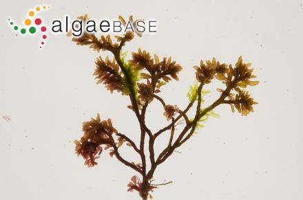 Laurencia scoparia J.Agardh