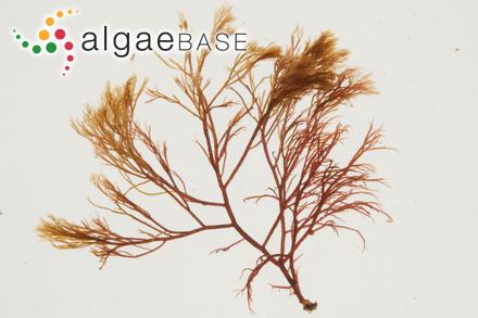 Pterosiphonia robusta N.L.Gardner