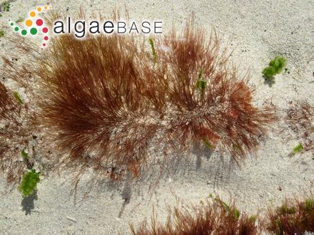 Devaleraea arctica (A.D.Zinova) Guiry