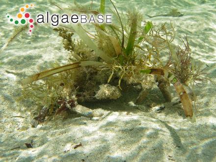 Palmaria callophylloides M.W.Hawkes & Scagel