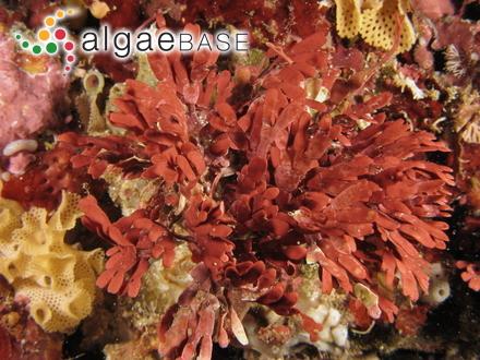 Halosaccion lepechinii (Postels & Ruprecht) Ruprecht