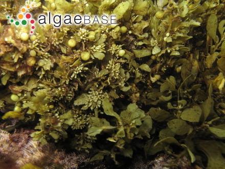 Pseudolithophyllum cabiochiae Boudouresque & Verlaque